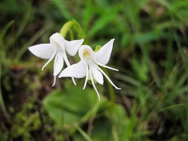 Angel Orchid (Habenaria Grandifloriformis) 1
