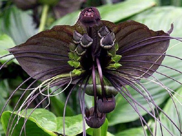 black bat flower 1