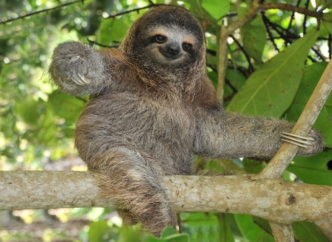 Pygmy Three-Toed Sloth 1